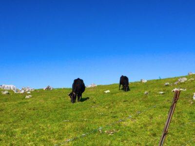 四国カルスト牛